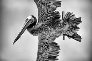 California Brown Pelican. by Matthew Fischbach